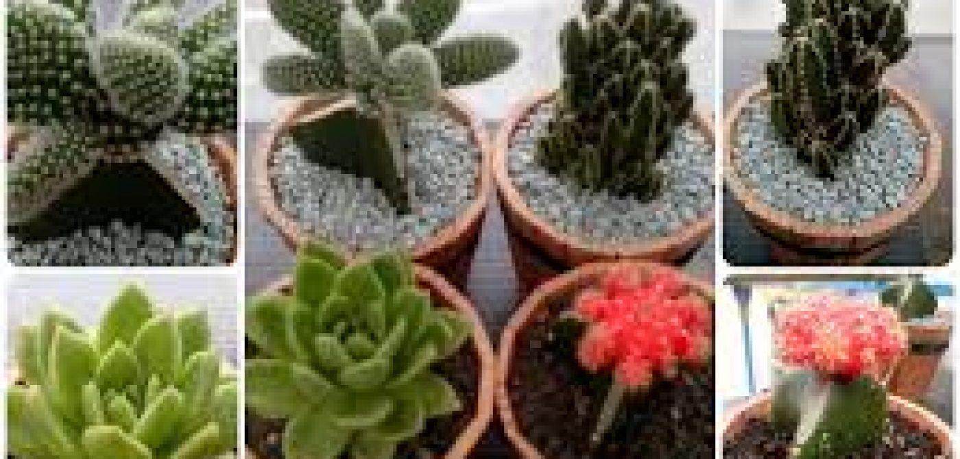 Jual Kaktus Mini Jogja Pusat Penjualan Kaktus Hias Mini